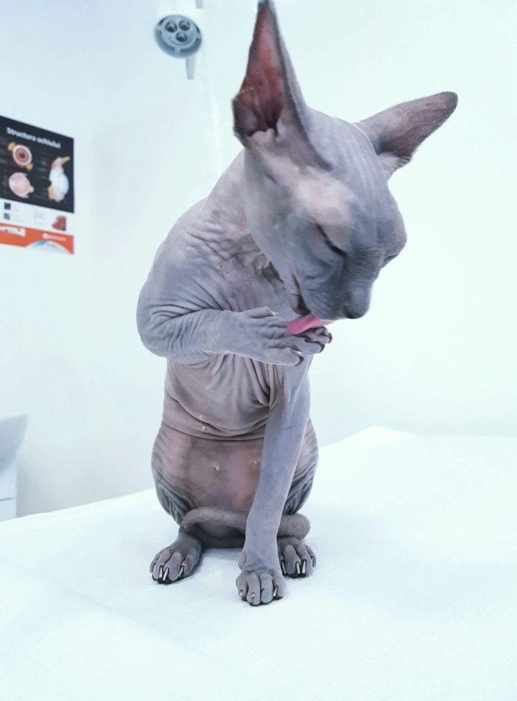 Sphynx Cat - consult si vaccinare